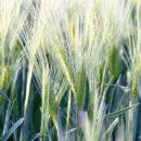 Co można zrobić, aby uchronić uprawy przed wyleganiem